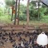 林养土鸡供应