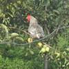 供应散养的芦花鸡鸡蛋,鸡雏,商品鸡,淘汰鸡