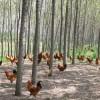 供应4-6月龄原生态土鸡  11-12月龄高档原生态土鸡