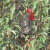 辽宁供应散养的芦花鸡鸡蛋,鸡雏,商品鸡,老母鸡