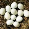 长期供应柴鸡蛋