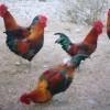 供应生态草药土鸡