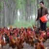 供应散养正宗不喂饲料土鸡