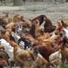 林间散养绿色柴鸡