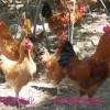 常年收购土鸡、老母鸡、仔公鸡