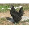 供应生财之道的精品良种 绿壳蛋鸡 五黑一绿蛋鸡助农致富