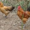 6月龄山地散养青脚土鸡