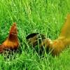 大量供应优质土鸡、土鸡蛋、土鸡苗