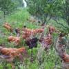 陕南汉中林下散养绿色生态土鸡供应