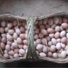 出售纯种芦花鸡种蛋