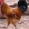 果园散养鸡