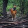 纯正山地散养土鸡