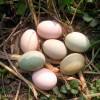 青山生态土鸡蛋