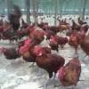 现有土鸡;柴鸡4000只出售