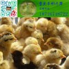 土鸡苗,鸡苗,重庆土鸡苗,放养对土鸡蛋品质的影响