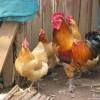 陕西境内常年供应土鸡苗