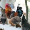 常年供应香二土鸡苗成品鸡