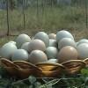 常年供应土鸡蛋粉蛋
