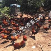 秦山土鸡专业合作社