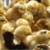 孵化场供应草鸡苗