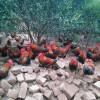 桂林兴安纯正生态山间放养土鸡出售