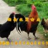 优质绿壳蛋批发 五黑一绿土鸡苗价格 高产蛋鸡苗供应