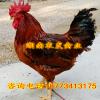 优质柴鸡苗批发 红羽鸡苗价格 k9鸡苗麻黄鸡苗供应