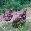 秦山源丶芦花鸡,铜川土鸡苗,湖南土鸡苗