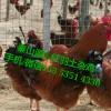 秦山源丶B380肉鸡,陇南土鸡苗,甘南土鸡苗