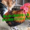 秦山源长期供应陕西土鸡苗、土鸡蛋、土鸡