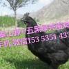 秦山源丶五黑绿壳蛋鸡,陕西土鸡苗,脱温鸡