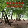 纯天然、无公害生态土鸡(天水鼎汇生态农业)