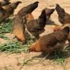天水老母鸡、纯正土鸡(天水鼎汇生态农业)