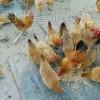 专业孵化,批发正宗青脚,黄脚土鸡苗,均重3——3.2斤