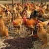 青脚土鸡品种适合全国各地养殖,专业孵化18972291218