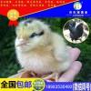 广安农民伯伯养殖广安自生源土鸡苗都走上致富路了你还在犹豫吗?