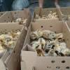 大渡口区优质土鸡苗哪里好,就找自生源禽业