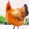 重庆大量供应土鸡土鸡蛋