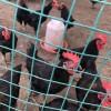自养 散养黑凤鸡